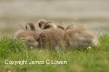Upland goslings