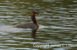 Great Grebe