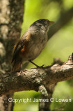 Grey-throated Warbling-finch