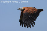 Black-collared Hawk