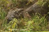 Andean Tinamou
