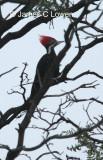 Black-bodied Woodpecker