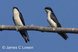 Blue-and-white Swallows