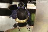 Plush-crested Jay