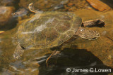 Toad-headed Turtle