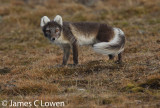 Svalbard wildlife