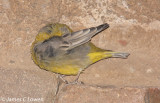 Bright-rumped Yellow-finch