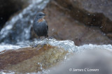 Rufous-throated Dipper
