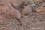 Golden-spotted Ground-dove