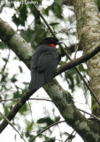 Red-ruffed Fruitcrow