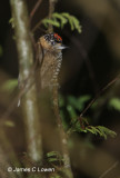 Ochre-collared Piculet