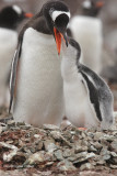 Gentoo Penguin and chick