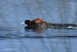 Andean Ruddy Duck