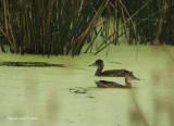 Black-headed Ducks