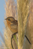 Long-tailed Reed-finch