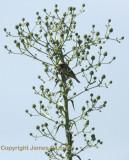 Sporophila sp nov ('Ibera Seedeater')