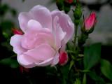 Mayflower Rose.JPG