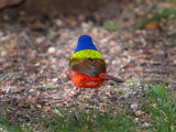 Painted Bunting Showing His Colors