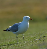 Ring-billed gull*