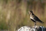 European golden plover