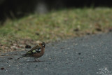 Common chaffinch*