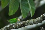 Green-shrike vireo