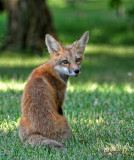 Jeune renard roux / Young Red Fox