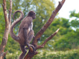 Spider monkey - Ederkoppeabe - Ateles Belzebuth hybridus