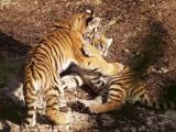 2009-08-29 Tiger cub fight