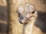 Ostrich - Struthio camelus