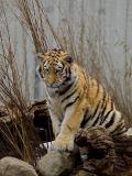 2006-03-19 Tiger