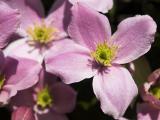2006-06-01 Violet flower