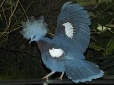 2006-07-16 Western crowned-pigeon