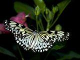 B&W Butterfly