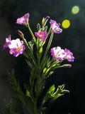 2006-07-18 Violet flowers