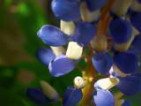 2008-05-25 Blue Lupin