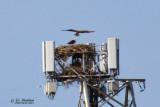 Bald Eagle nest near downtown Louisville