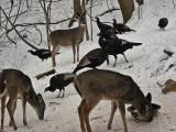 Whitetail Deer in WV ~ Jan 2011