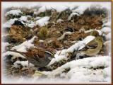 White Throated Sparrow and Goldfinches