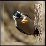 Nuthatch with a Mouthful
