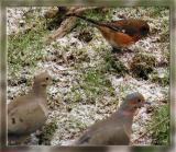 Doves and Female Rufous Sided Towhee