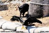 2008 - a neighborhood cat investigating the large waterbird, photo #0989