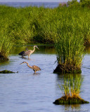 Three Heron