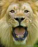 Lion (Say Ahhhhhh!)