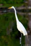 Great White Egret At Oak Tree Pond  IV