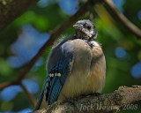 Sickly Blue Jay
