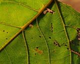 Cottonwood Veins