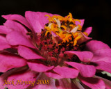 Zinnia Bloom with tiny bug
