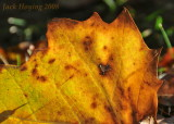 Backlit Sycamore Leaf in the early morning