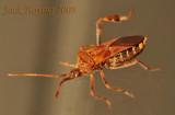 Western Conifer Seed Bug